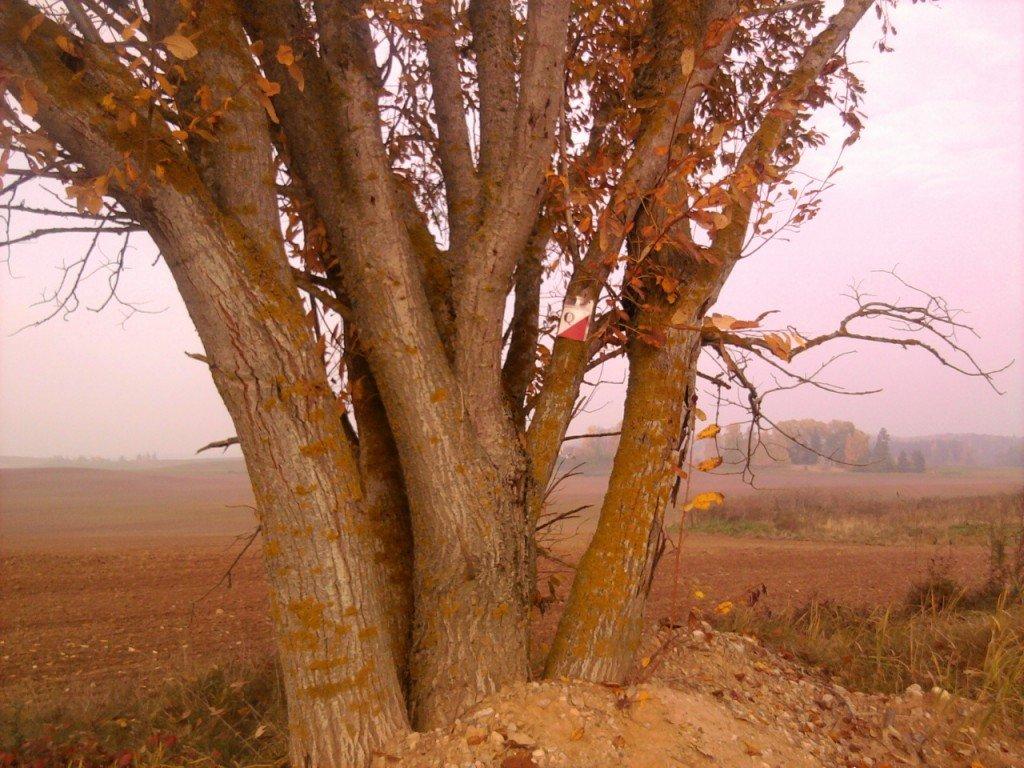 Pokaiņu velo rogaininga apvidus, koks laukā