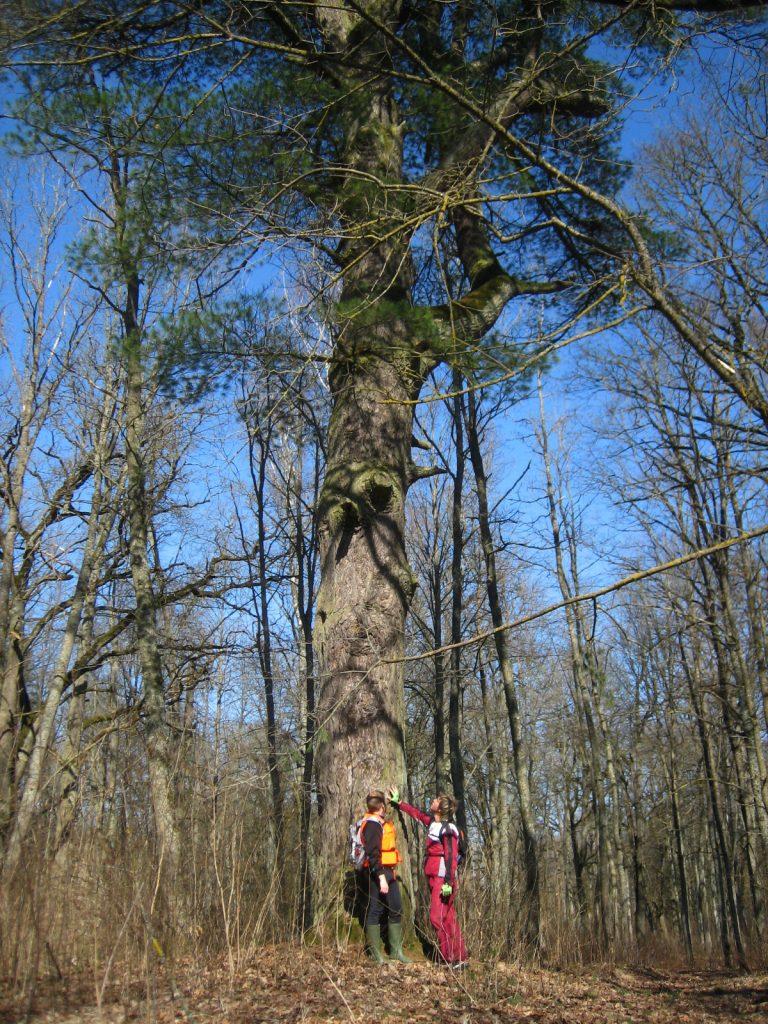 Pinus Nigra - milzu priede Ziedoņa parkā