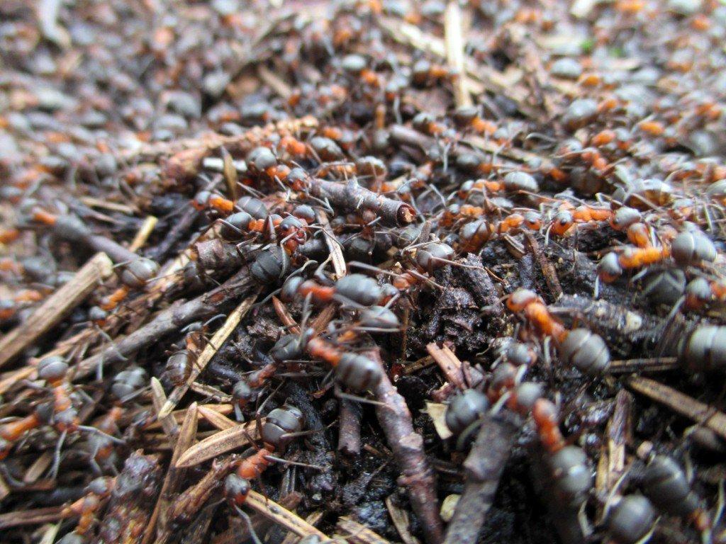Rūsganās meža skudras - Formica rufa