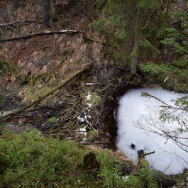 Bebru dambis aizšķērso gravu. Uz austrumiem no bijušajām Tuļču mājām.