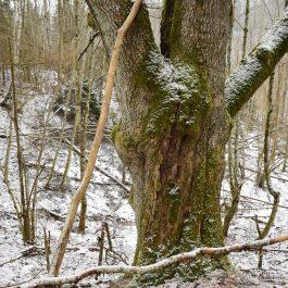 Viens no lielākajiem ošiem, kas vēl Embūtē ir saglabājušies. Dzeldas (Kazupes) ielejas rietumu nogāzes augšā.