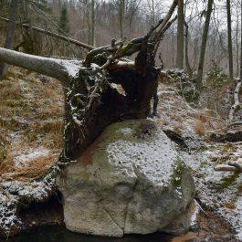 Kazupes gravā Embūtē. Zem saknes ir ievērojama izmēra akmens. Kāda auksta ziema to ir izcēlusi un virs tā auguši egle nogāzusies.