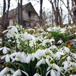 Sniegpulkstenīši pie pamestās mājas kalna galā ~1 km uz DR no Induļa kapa akmens Embūtē.