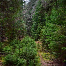 Egļu mežs, taciņa, Embūtē. 2017.g.