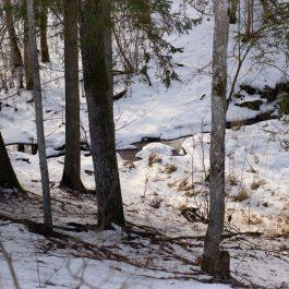 Strauts starp pakalniem piesnigušā mežā.